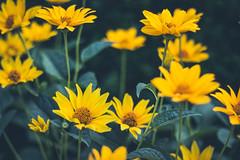 Field of flowers (WillemijnB) Tags: yellow geel jaune gelb flowers bloemen fleurs plante plant buiten voortuin natuur nature zomer t summer 50mm eos70d