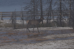 "Elk • <a style=""font-size:0.8em;"" href=""http://www.flickr.com/photos/63501323@N07/28195551205/"" target=""_blank"">View on Flickr</a>"