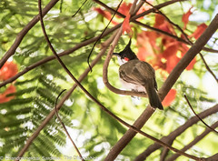 2N7A4999 (DhandaNot) Tags: pune red whiskered bulbul