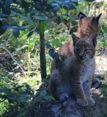 Chatons Lynx (Carahiah) Tags: rhodes bébé lynx saintecroix parcanimalier parcanimalierdesaintecroix cuboflynx bébélynx chatonlynx