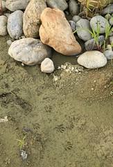 Tanuki (racoon dog) tracks  (tsubame) Tags: saitama arakawa  kumagaya