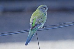 female Red Rump parrot (outback traveller) Tags: historic seq