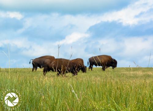 Buffalo Field