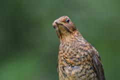 That look! (After-the-Rain) Tags: turdusmerula blackbird 365challenge gilslandgarden july2016