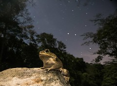 Star Toad (antonsrkn) Tags: cane toad rhinella marina bufo wild nature sky stars animal amphibian amphibia herp herpetology herping frog frogging jungle forest anura anuran wideangle trees habitat night nocturnal stream river wildlife fauna biology biodiversity nikon outside outdoors