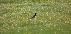 Spot the bird? (mootzie) Tags: bird oystercatcher croft harris black white beak orange summer july flowers buttercups yellow