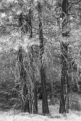 Four Pines BW (Don Thoreby) Tags: forest canyon cascades washingtonstate slopes cascademountains cascaderange aspentrees ponderosapine cleelumriver suncadiaresort cleelumrivervalley