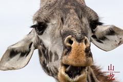 Photobomb! (DragonSpeed) Tags: africa tanzania mammal safari mara tz giraffacamelopardalistippelskirchi serengetinationalpark masaigiraffe maasaigiraffe tzday05 loboregion africanwildcatsexpeditions