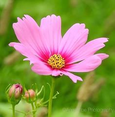 Pink on Pink Cosmos (AngelVibePhotography) Tags: pink flowers plant flower macro nature closeup garden nikon outdoor blossoms northcarolina cosmos nikonp900