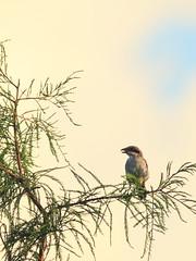 Loggerhead Shrike fledgling 20160717 (Kenneth Cole Schneider) Tags: florida miramar westbrowardwca