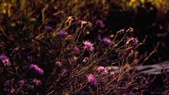 ironies (tom bourdot) Tags: light summer nature outside weeds nj july gimp nikkor tangle magichour forsythe refuge ironweed forsytherefuge nikond3300