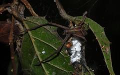 Menneus sp. (dustaway) Tags: nature rainforest australia nsw arthropoda rotarypark arachnida lismore araneae araneomorphae australianspiders northernrivers netcastingspider deinopidae menneus