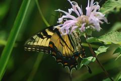 Nectaring (wackybadger) Tags: wisconsinstatenaturalarea nikon1855mmf3556gafsvr nikon monardafistulosa nikond60 purple flower papiliocresphontes trempealeaurivermeadowsna sna346 buffalocounty wildbergamot giantswallowtail wisconsin