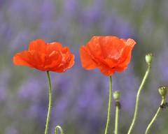 poppy on lavender (GE fotography) Tags: 5639 poppy scarlet lavender kent shoreham farm uk country nature field