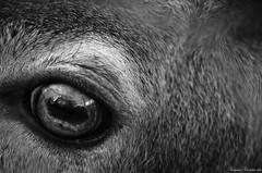 Sevehrmogen (LaKry*) Tags: biancoebero schwarzundweiss blackandwhite biancoenero cervo deer hirsch occhio eye auge pupilla pupille pupil