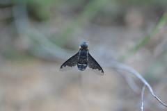 Mosca con media ala transparente (esta_ahi) Tags: barcelona españa insectos fauna spain alas mosca diptera penedès transparentes bombyliidae испания larboçar