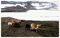 On the way to Mjifjrur (arnthorr) Tags: arnthorr arnrragnarsson ar arnthorragnarsson arnr arnthor mjifjrur iceland islande sland oka austurland austfirir fjallvegur fjord f kindur r rollur kind lmp snjr snow lambs sheep spring summer hardlife smala rolla
