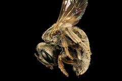 Halictus tectus, f, montgomery co, md, side_2016-07-19-15.15 (Sam Droege) Tags: zerenestacker stackshot geologicalsurvey unitedstatesgeologicalsurvey departmentoftheinterior droege biml beeinventoryandmonitoringlaboratory bug bugs canon closeup macro insect patuxentwildliferesearchcenter pwrc usgs dofstacking stacking canonmpe65 taxonomy:binomial=halictustectus bee bees apoidea hymenoptera pollinator nativebee halictidae timmcmahon maryland montgomerycounty invasivespecies alien