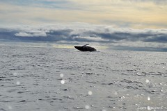 The fly of the whale (whoisbejarano) Tags: ballena whale mar sea ocean jump fly jorobada humpback bahia solano choco colombia cetaceo pacific pacifico
