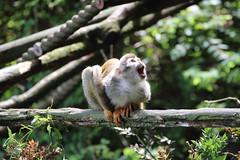 'Wow, the Sun's out at last!' (charliejb) Tags: squirrelmonkey monkey bristolzoo primate 2016 mammal fur furry furred tree branch bristol