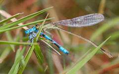 You think YOU'VE had a bad day? (markhortonphotography) Tags: riverbourne surrey commonbluedamselflyenallagmacyathigerum heatherfarm thatmacroguy horsellcommonpreservationsociety cannibalism macro markhortonphotography insect infuscans ischnuraelegans wetlandscentre bluetaileddamselfly