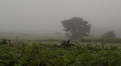 Misty moments... (Yoli in the woods...) Tags: mist mity fog niebla atmosphere atmosfera nature forest naturaleza mystery france francia amorique arree armorica montsdarree parquenatural foggy solitario alone artre tree arbol