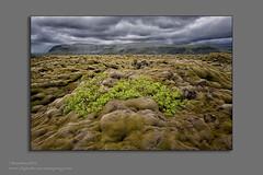 shuerw-moss land (Digital Texan) Tags: flowers ice iceland landscape lavafield moss oceanfront plants waterfalls chapel church