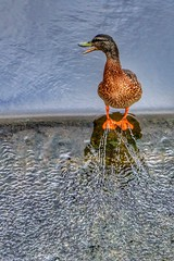 On the edge (Nick Fewings 4.5 Million Views) Tags: uk dorset beak web water feet duck