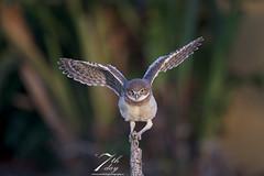 Balance is everything (Seventh day photography.ca) Tags: burrowingowl owl bird predator birdofprey animal wildanimal wildlife carnivore spring florida unitedstates raptor owlet