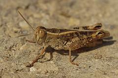 Calliptamus italicus (henk.wallays) Tags: aaaa europa france gard henkwallays location rousson closeup macro nature natuur wildlife arthropoda acrididae calliptamus calliptamusitalicus insect italiaanserosevleugel orthoptera orthoptères veldsprinkhanen cricket grasshopper insecta insecte insekt sauterelle schrecke sprinkhaan sprinkhanen veldsprinkhaan