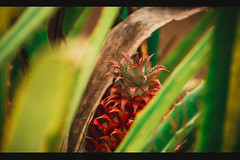 Abacaxi.jpg (Denis Freislebem) Tags: rural abacaxi pineapple