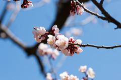 - Hokkaido Jingu(Hokkaido Shrine) (ken_visto) Tags:  plum  shrine  sapporo hokkaido  japan d800