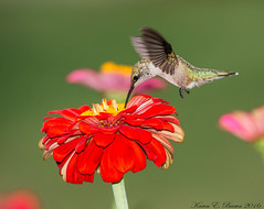 Ruby-throated Hummingbird (BirdFancier01) Tags: flower plant foliage garden zinnia nature bird hummingbird
