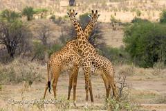X Factor (jaycees2012) Tags: ruahanationalpark tanzania photobook2015selousandruaha mammals giraffeandokapi masaigiraffe animalia giraffacamelopardalistippelskirchi giraffidae mammalia kilimanjarogiraffe maasaigiraffe iringa tz