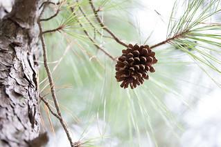 Pine Cones (Cape Henlopen) 1