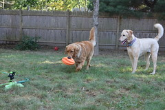 DSC_0122 (ghoulia) Tags: goldendoodle goldenretriever poodle labradoodle labrador rovercom dogvacay