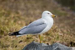 Ring-billed Gull (Turk Images) Tags: hawrelakpark larusdelawarensis ringbilledgull alberta birds edmonton gulls laridae rbgu spring