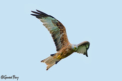 Red Kite (parry101) Tags: red kite kites redkite bird birds prey nature wildlife south wales flight flying llanddeusant brecon animal outdoor