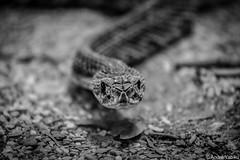 facing (Andre Yabiku) Tags: andreyabiku yabiku institutobutanta sopaulo brazil br snake bw blackandwhite fear