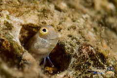 ALLOBLENNIUS PICTUS (Sonja Ooms) Tags: alloblennius alloblenniuspictus aqaba blenny combtooth combtoothblenny egypt fish gulfofaqaba macro marine nature nuweiba pictus smile underwater