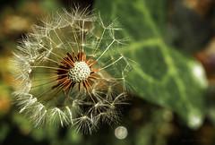 Dandelion (Carla Mountain Spirit) Tags: dandelion nature macro macrodreams carlafreire