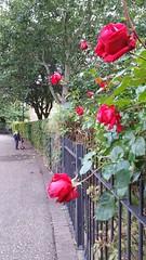 Roses are red Stepney Green (Carol B London) Tags: red reflowers floral flower stepney stepneygreen redrose rose roses