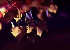 Autumn Secrets - Explore (miss.interpretations) Tags: autumn plum purple fall leaves season harvest passion whimsical missinterpretations canonm3 littletonco merlot winecolors cozy dreamy