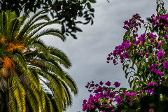 Palm and flowers (randyherring) Tags: ca california plant flora backyard nature flower sanjose outdoor bloom bougainvillea palm afternoon