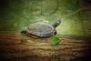IMG_1572 turtle (pinktigger) Tags: turtle tartaruga oasideiquadris nature animal fagagna feagne friuli italy italia autumn fall