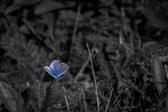 A touch of color... (Francizc Chachula) Tags: nikon d7200 70300mm nikkor insect butterfly blue bw blackandwhite monochrome composition closeup bokeh august 2016 outdoor nature natural
