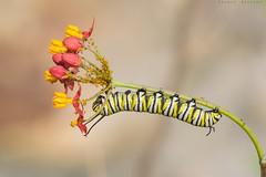 La Monarca (sergio estevez) Tags: macro micro insecto oruga monarca tamronsp90mmf25 sergioestevez