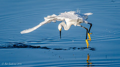 """Golden Slippers"" allow you to dance on water (Bob Gunderson) Tags: birds california crissyfield egrets egrettathula northerncalifornia presidio sanfrancisco snowyegret"