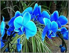 Blue Orchids... (** Janets Photos **) Tags: uk plants flora flowers orchids