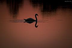 Swan Lake (oskaybatur) Tags: ineada turkey trkiye turkei 2016 october autumn sunset gnbatm travel silhouette shadow pentaxk3 oskaybatur smcpentaxda55300mmf458ed red nature naturelover pentaxart justpentax swan kuu